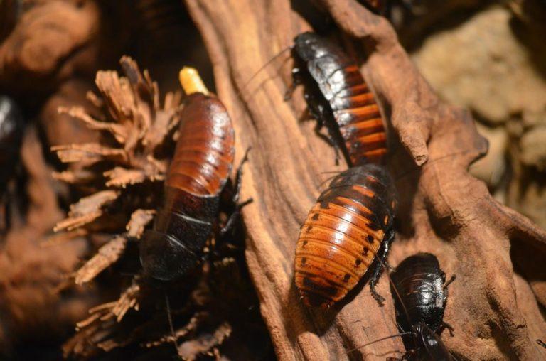 Jak skutecznie zwalczać karaluchy?